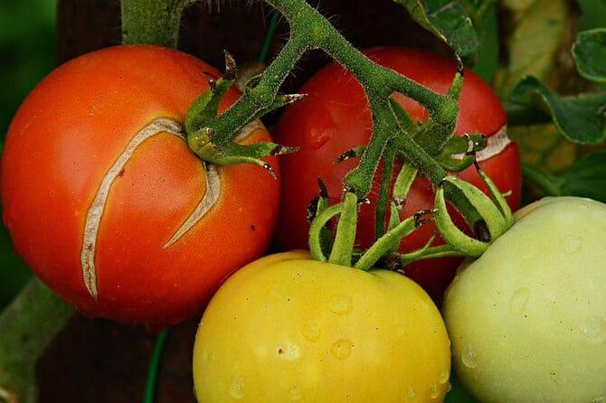 Фото треснувших томатов