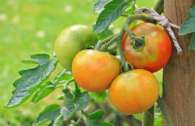 Фото зрелых помидор