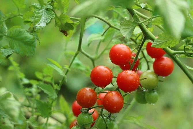Фото зрелых томатов