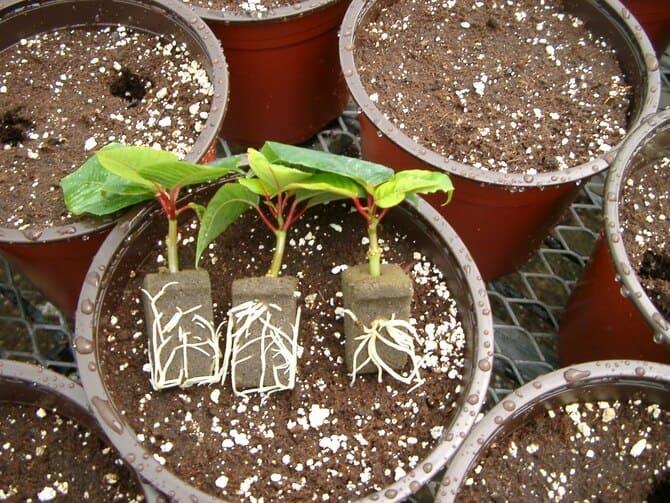 Фото размножения пуансеттии