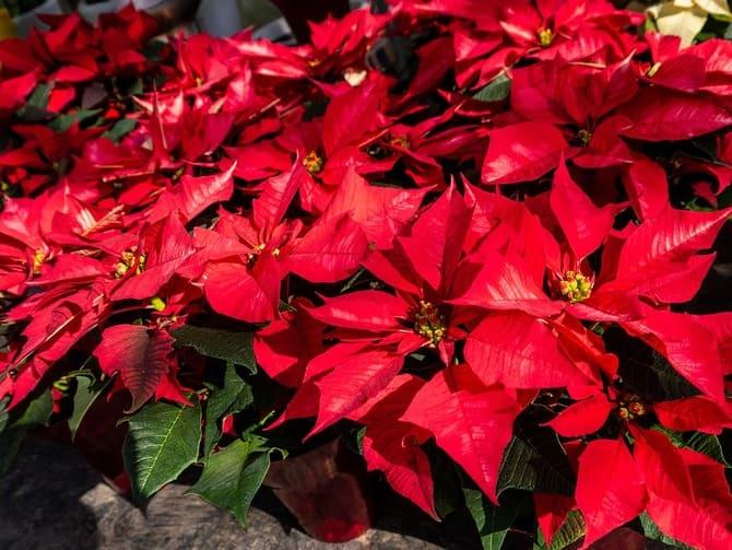 Фото цветения пуансеттии