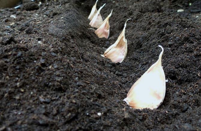 Фото чеснока в земле