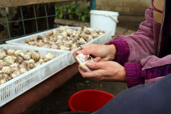 Как и когда правильно сажать чеснок осенью под зиму в Подмосковье: особенности осенней посадки, выбор сроков, схемы