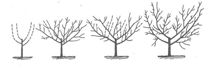 Схема формирования сливы чашей