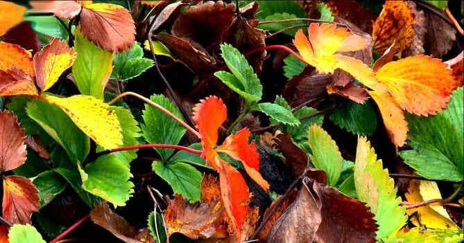 Подкормка клубники осенью, особенности внесения удобрений