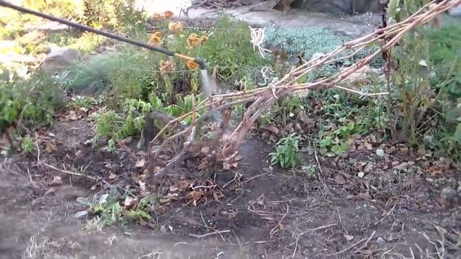 Фото обработки винограда