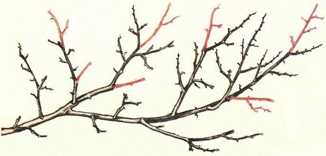 Фото обрезки быстрорастущих ветвей