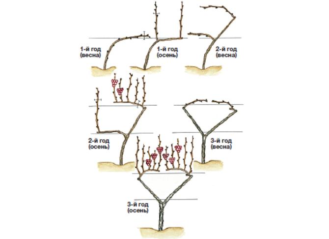 Схема обрезки винограда по токареву
