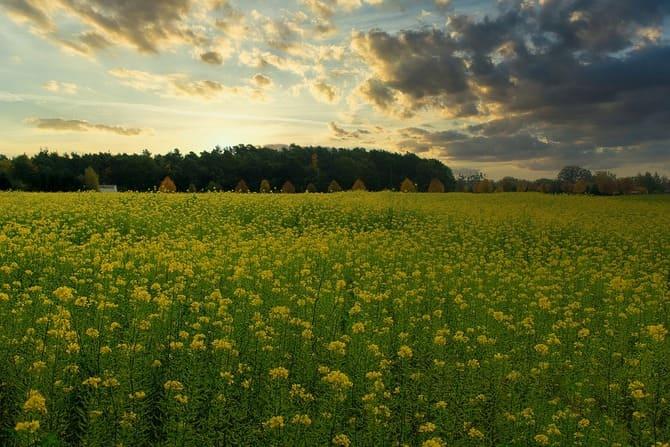 Фото поля горчицы