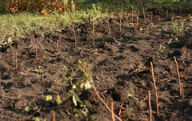 Фото посадки саженцев малины