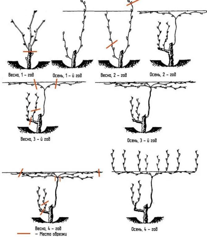 Схема предзимней обрезки винограда