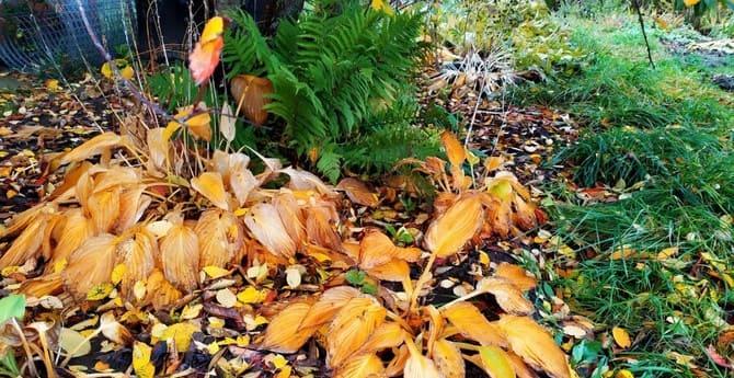 Фото хосты осенью