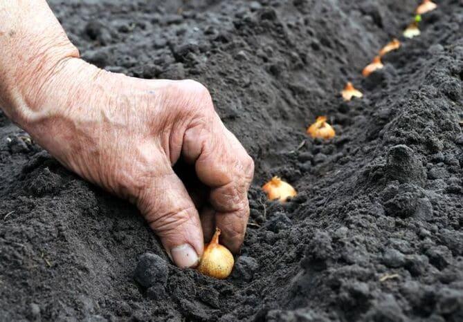 Фото посадки лука осенью