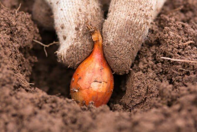 Фото посадки луковички