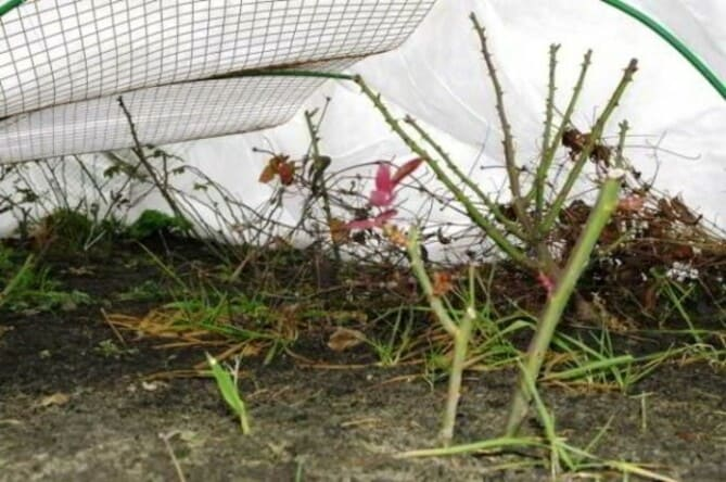 Фото укрытия роз