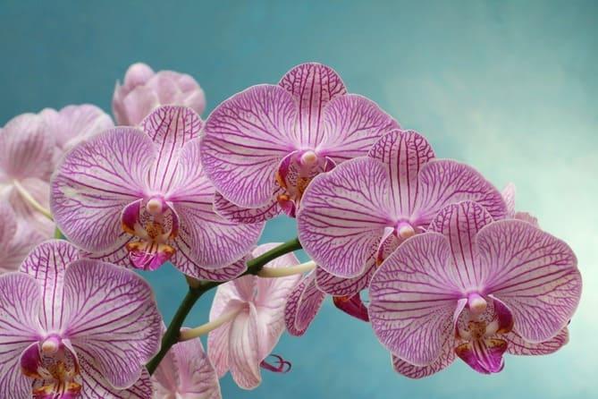 Фото фиолетовой орхидеи
