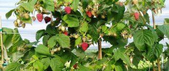 Фото малинового дерева_главная
