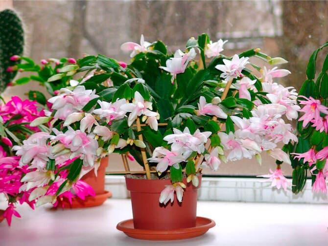 Фото цветения декабриста