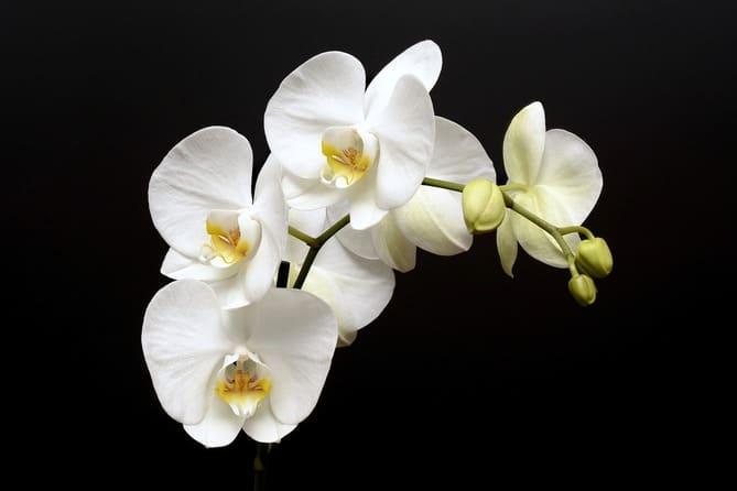 Фото цветения орхидеи