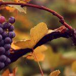 Фото укрытие винограда_главная