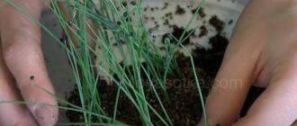Когда сажать лук на рассаду