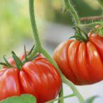 Фото помидоров на ветке