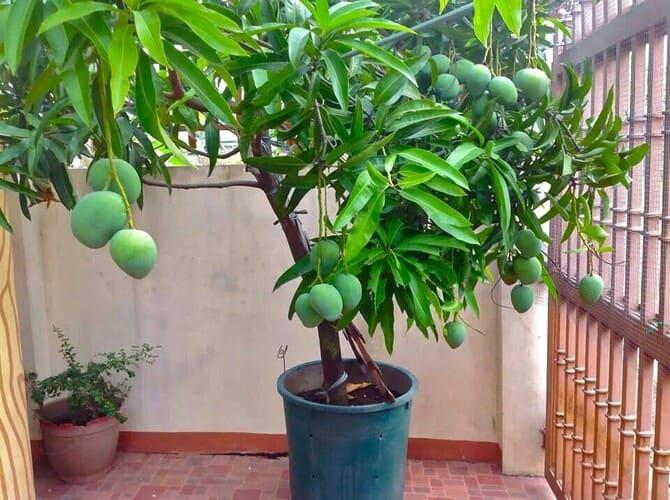Фото мангового дерева
