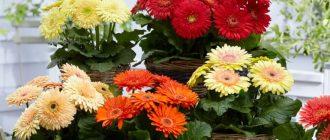 Фото подарок цветы в горшке_главная