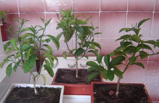 Фото выращивания алычи
