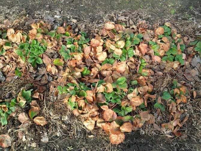 Фото клубники после зимы