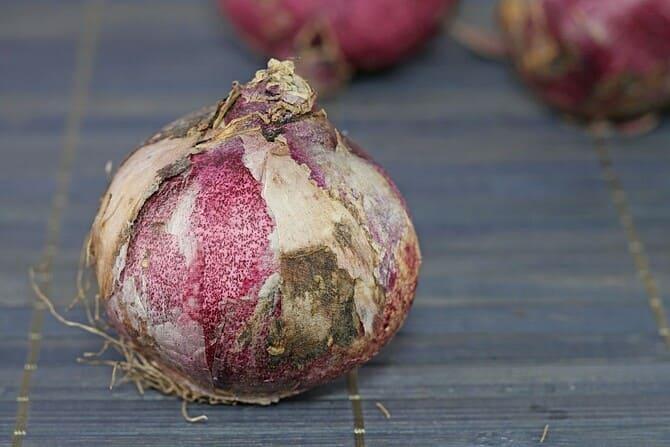 Фото луковицы гиацинта