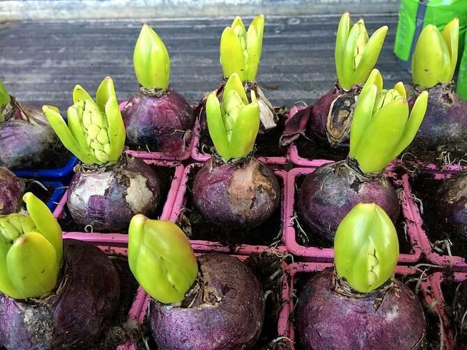 Фото луковиц в горшочках
