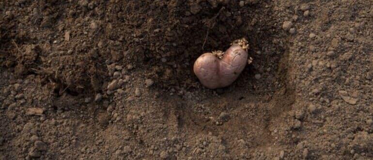 Фото посадки картофеля_главная