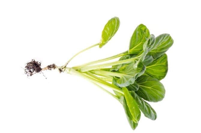Фото ростка капусты