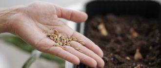 Фото семян в руке_главная