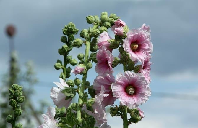 Фото цветов мальвы