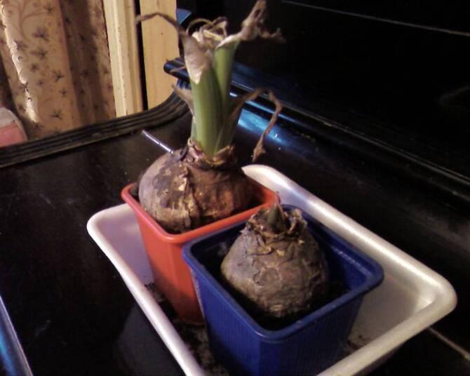 Фото высохшей луковицы