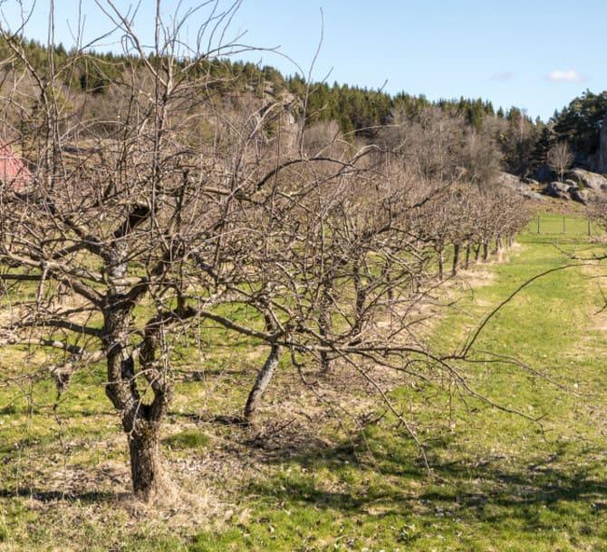 Фото яблонь весной