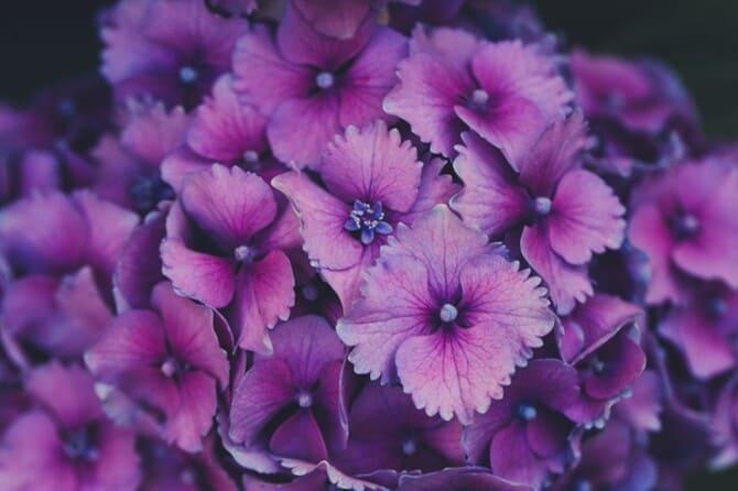 Фото фиолетовой гортензии