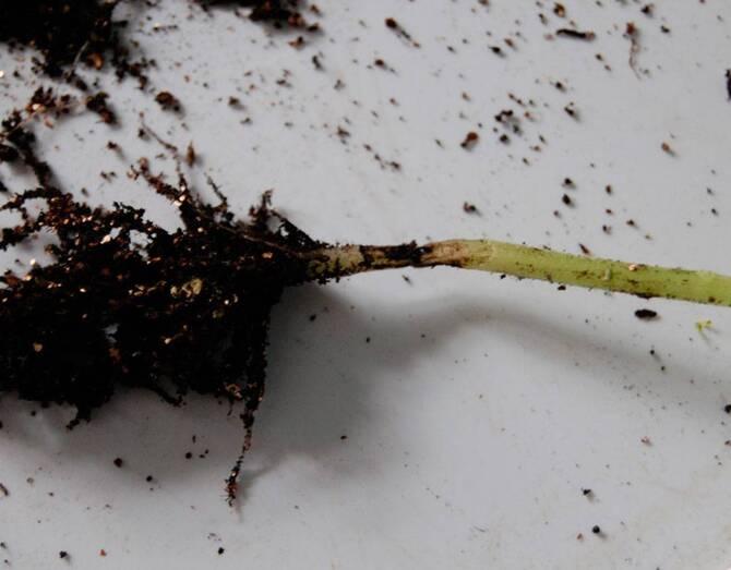Фото грибковой черной ножки