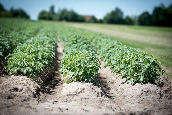 Фото грядок картошки