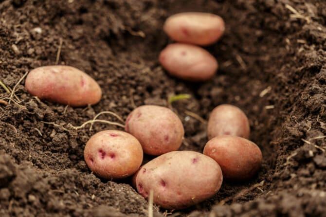 Фото картофеля в ямке