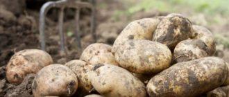 Фото картофеля_главная