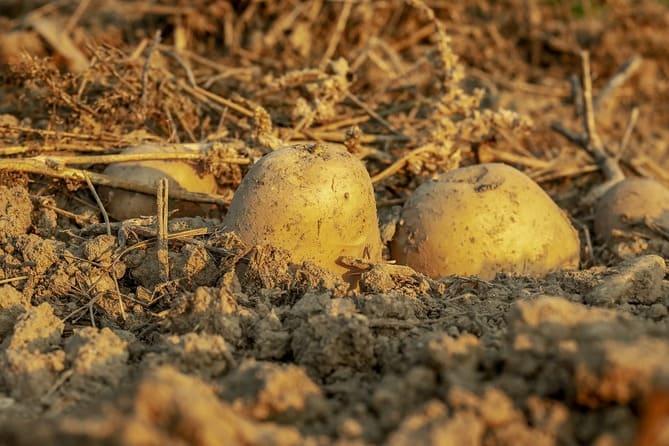 Фото картошки в земле