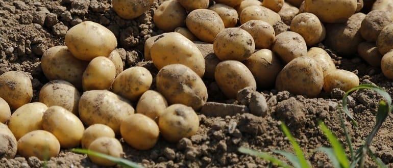 Фото картошки_главная