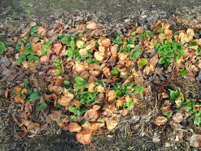 Фото клубники в старых листьях