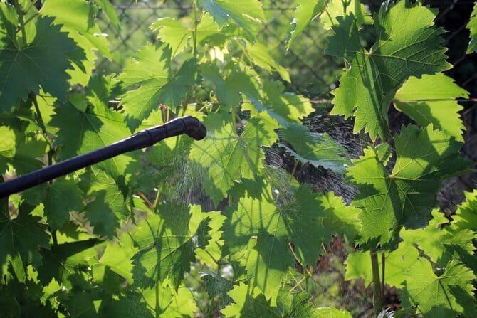 Фото опрыскивания винограда весной