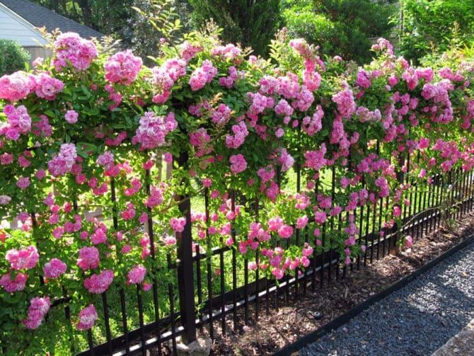 Фото плетистой розы