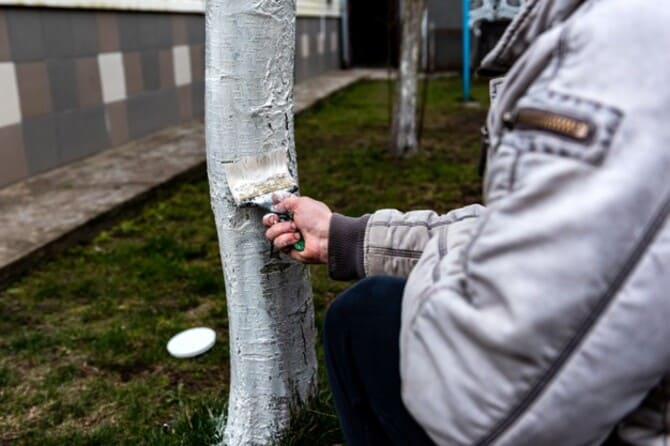 Фото побелки дерева