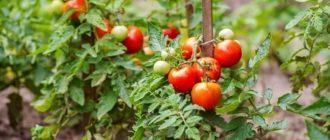 Фото помидоров в открытом грунте